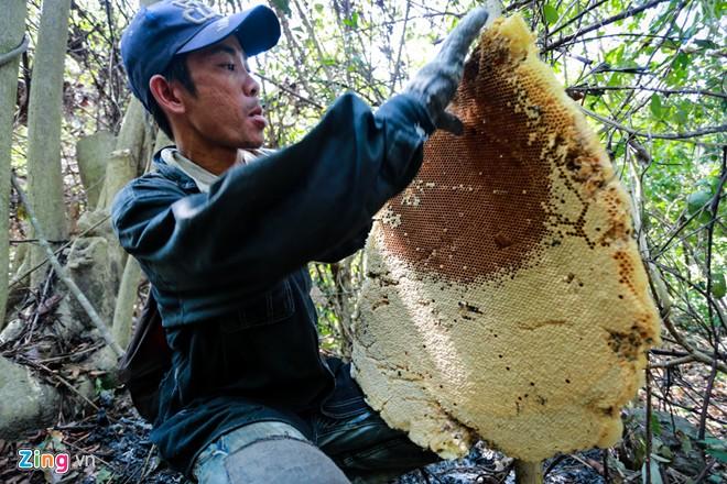 Mật ong rừng có kích thước lớn hơn mật ong nuôi rất nhiều.