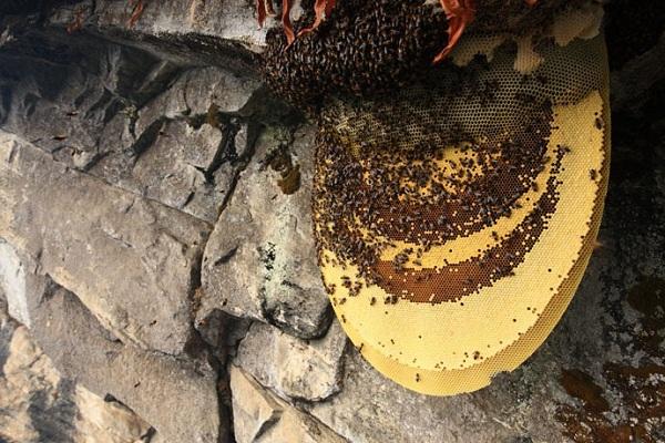 Tổ mật ong tự nhiên trong rừng