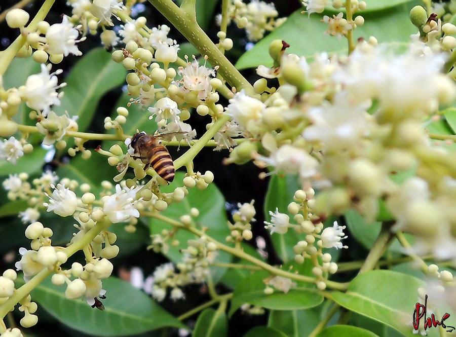 Mật ong rừng hoa nhãn là gì?Địa chỉ mua mật ong rừng hoa nhãn chính hiệu?.