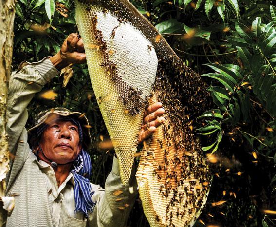 Mật ong rừng bị chua hay đắng là do phương pháp khai thác mật ong.