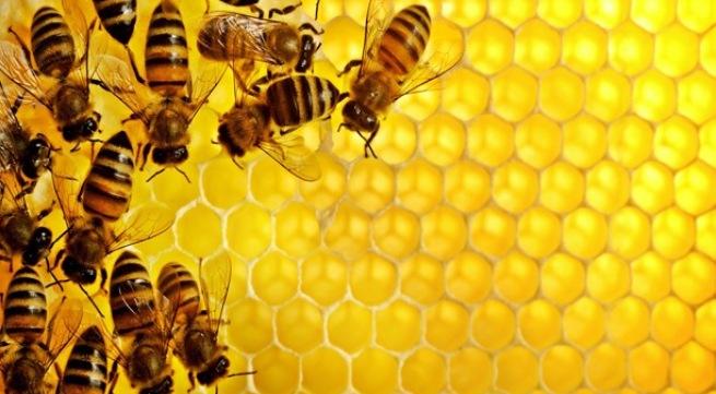 Ong rừng sinh trưởng hoàn toàn tự nhiên cho ra mật ong tinh khiết hơn.